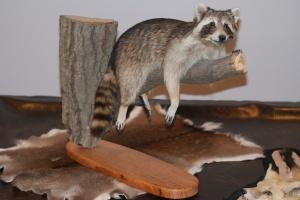 Mounted Raccoon